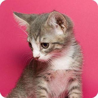 Domestic Shorthair Kitten for adoption in Jersey City, New Jersey - Luke