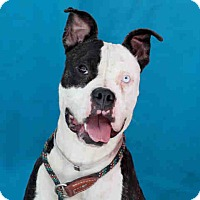 Adopt A Pet :: DAGNEY A4983718 is in danger i - Beverly Hills, CA