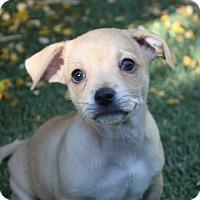 Adopt A Pet :: Ramon - Henderson, NV