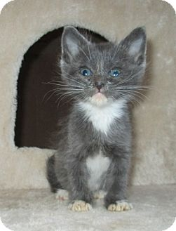 Domestic Shorthair Kitten for adoption in San Bernardino, California - Wintergreen