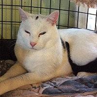 Domestic Shorthair Cat for adoption in Breinigsville, Pennsylvania - Blinky