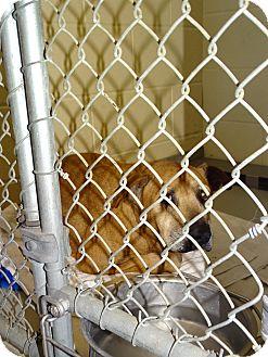 Labrador Retriever Mix Dog for adoption in Brooksville, Florida - ROSE