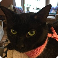 Bombay Cat for adoption in Rochester Hills, Michigan - Jasmine