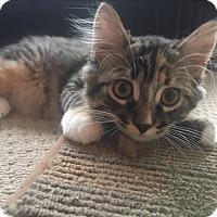 Domestic Longhair Kitten for adoption in Whitby, Ontario - Pixel