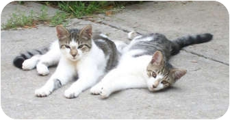 Domestic Shorthair Cat for adoption in Norwich, New York - Amos and Andy