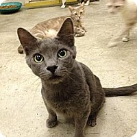 Domestic Shorthair Cat for adoption in St. James City, Florida - Wraith