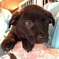 Adopt A Pet :: Midnight - Royal Palm Beach, FL