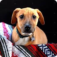 Adopt A Pet :: Scarlet - Detroit, MI