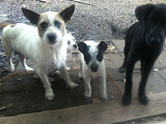 Wirehaired Fox Terrier/Terrier (Unknown Type, Small) Mix Dog for adoption in Triangle, Virginia - Charlotte