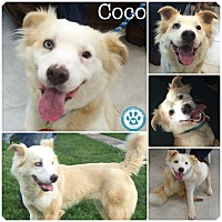 Adopt A Pet :: Coco - Kimberton, PA