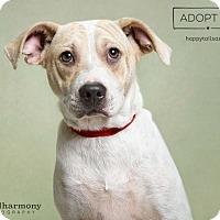 Adopt A Pet :: Dante - Chandler, AZ