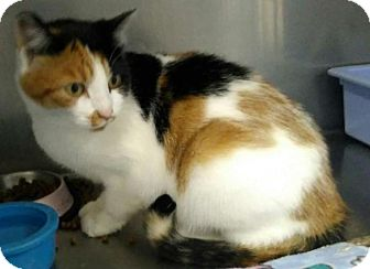 Calico Cat for adoption in Sauk Rapids, Minnesota - Blackberry