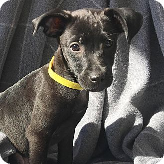 Chihuahua/Terrier (Unknown Type, Small) Mix Puppy for adoption in CUMMING, Georgia - Joy