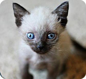 Siamese Kitten for adoption in Austin, Texas - Froggie