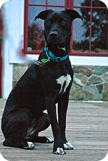 Labrador Retriever/Whippet Mix Dog for adoption in Potomac, Maryland - Jeannie