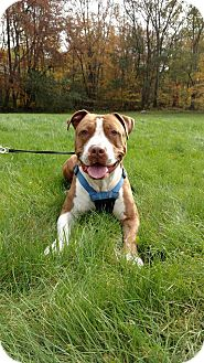 Pit Bull Terrier Mix Dog for adoption in Glocester, Rhode Island - Hercules