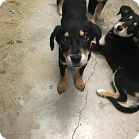 Adopt A Pet :: Lola - New Braunfels, TX