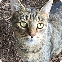 Domestic Shorthair Cat for adoption in Ardsley, New York - Lily
