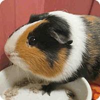 Guinea Pig for adoption in Fullerton, California - *Urgent* Reese & Daisy