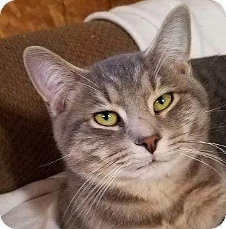 Domestic Shorthair Cat for adoption in Colfax, Iowa - Logan