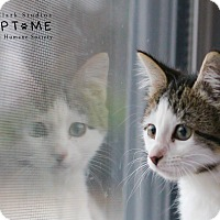 Adopt A Pet :: Tott - Edwardsville, IL