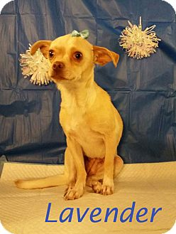 Chihuahua/Terrier (Unknown Type, Medium) Mix Dog for adoption in Shreveport, Louisiana - Lavender