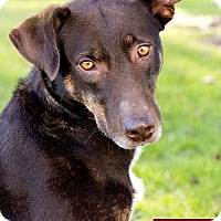 Labrador Retriever/Australian Cattle Dog Mix Dog for adoption in Marina del Rey, California - Nena