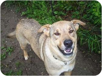 Husky/German Shepherd Dog Mix Dog for adoption in Antioch, Illinois - Sadie ADOPTION PENDING!!