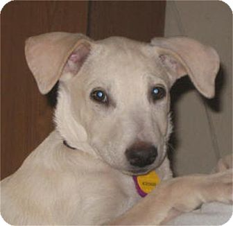 Labrador Retriever Mix Puppy for adoption in Golden Valley, Arizona - Sandy