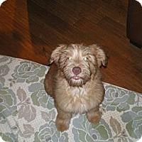 Adopt A Pet :: Dewy - Apex, NC