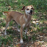 Chihuahua Mix Dog for adoption in Oviedo, Florida - Cici