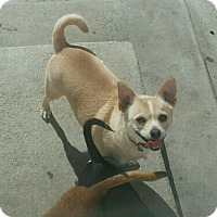 Chihuahua Dog for adoption in Phelan, California - Stanley