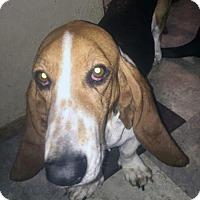 Adopt A Pet :: Ziva - Houston, TX