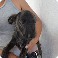 Adopt A Pet :: Kala - Vancouver, BC