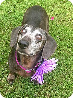Dachshund Mix Dog for adoption in Colorado Springs, Colorado - COCO
