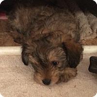 Adopt A Pet :: Martes - Fort Collins, CO