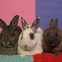 Adopt A Pet :: Farrah, Bosley & Vixen - Montclair, CA