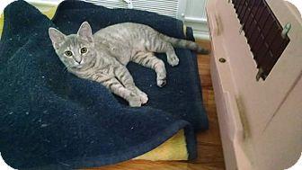 Domestic Shorthair Kitten for adoption in Davison, Michigan - Misty