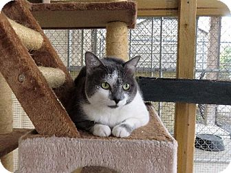 American Shorthair Cat for adoption in Van Wert, Ohio - Artemis