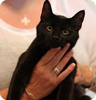 Domestic Shorthair Cat for adoption in Franklin, Tennessee - CATMAN CHARLIE