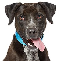 Labrador Retriever/Pointer Mix Dog for adoption in Santa Monica, California - Joseph