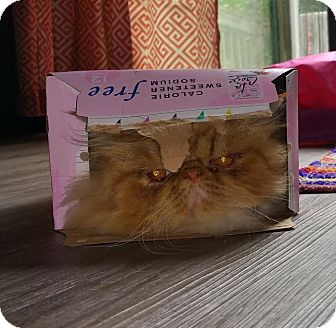 Persian Cat for adoption in River Falls, Wisconsin - Gus