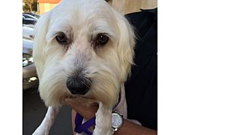 Terrier (Unknown Type, Medium)/Poodle (Miniature) Mix Dog for adoption in Palm Desert, California - PUTTER-Dog