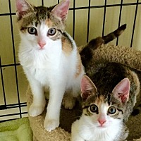 Adopt A Pet :: Sister Kitties - Royal Palm Beach, FL