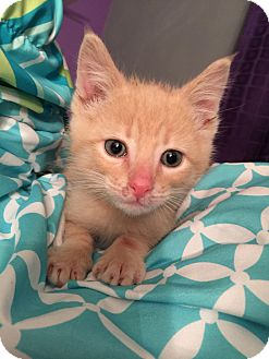 Domestic Shorthair Kitten for adoption in Geneseo, Illinois - Mateo