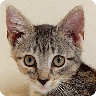 Domestic Shorthair Kitten for adoption in Long Beach, New York - Maggie