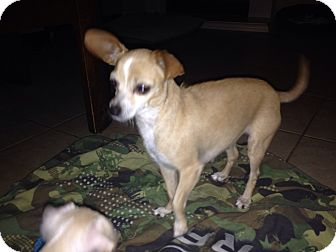 Chihuahua Mix Dog for adoption in Winchester, California - Lola