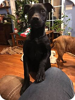 Labrador Retriever Mix Dog for adoption in Shallotte, North Carolina - Kenzlie