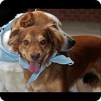Adopt A Pet :: Krys - Frederick, MD