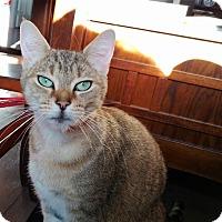 Adopt A Pet :: Pebbles - Vancouver, BC